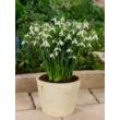 Óriás hóvirág ( Galanthus Elwesii)