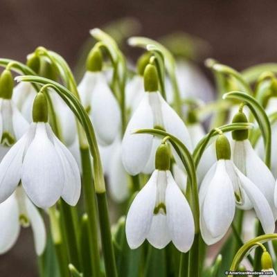 Pompás Hóvirág  (Galanthus woronowii)